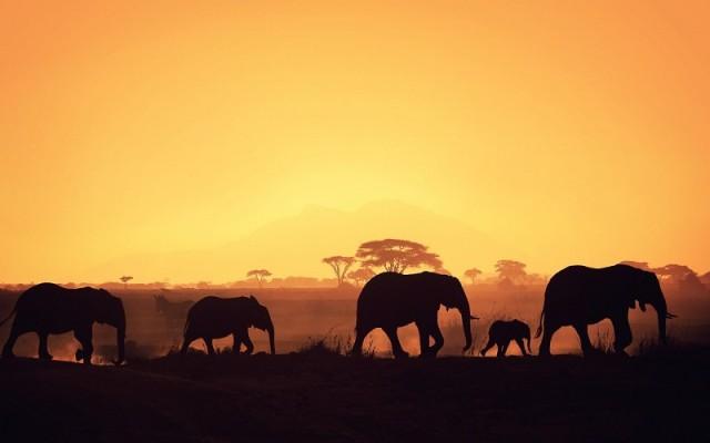 elephant-herd-silhouette-pics-351207